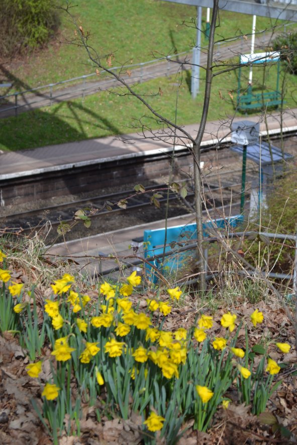 Daffodills at Runcorn East Station
